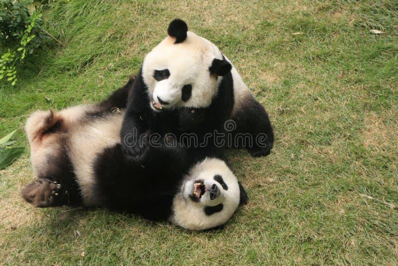 Giant panda bears (Ailuropoda Melanoleuca) playing royalty free stock photo