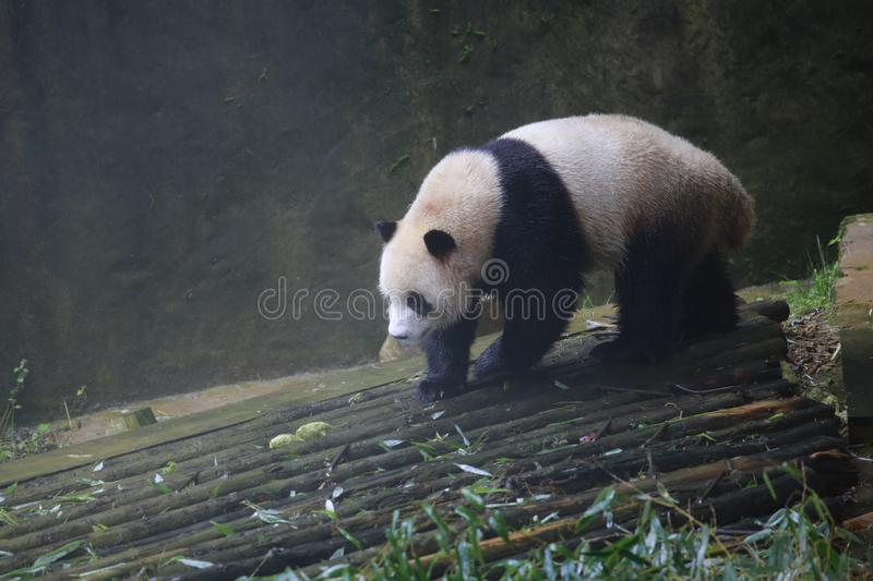 The giant panda belongs to the only mammals of the carnivora, the bear family, the giant panda subfamily and the giant panda. The royalty free stock photo