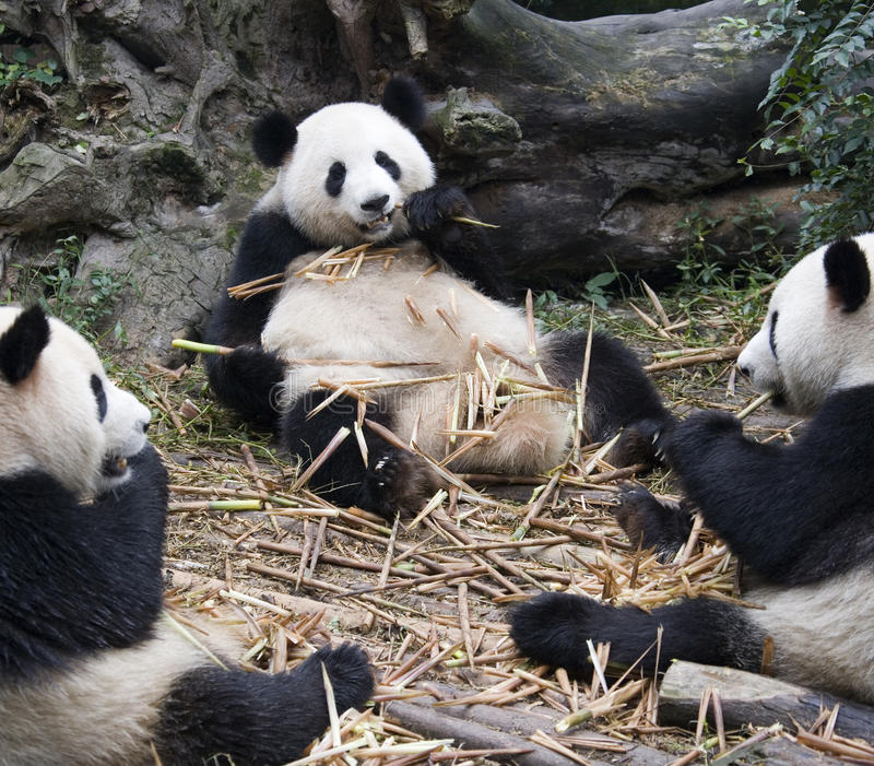 Giant Panda - Chengdu - China. A group of Giant Panda eating bamboo in a Panda Breeding Center in Chengdu in China. The giant panda (Ailuropoda melanoleuca) is a stock photos