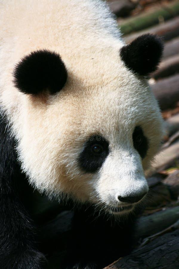 Giant Panda Climbing Down Royalty Free Stock Image