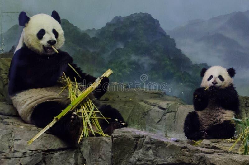 Giant panda and cub eat bamboo. Giant panda (Ailuropoda melanoleuca), Mei Xiang, and cub, Bao Bao, eat bamboo at the Smithsonian National Zoo in Washington, DC royalty free stock images