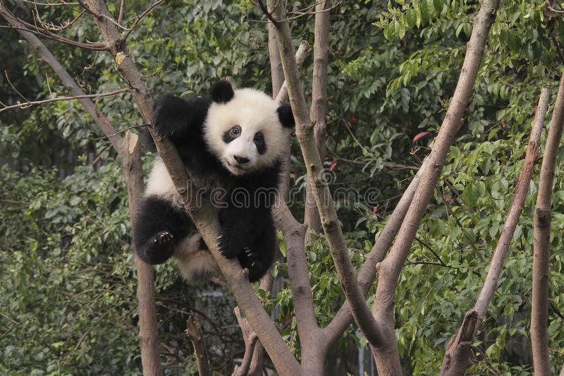 Giant panda cub playing on the tree royalty free stock photos