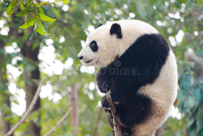 Giant Panda Cub sitting on branch - Chengdu, China. A Giant Panda Cub sitting on a tree branch - Chengdu, China royalty free stock photo