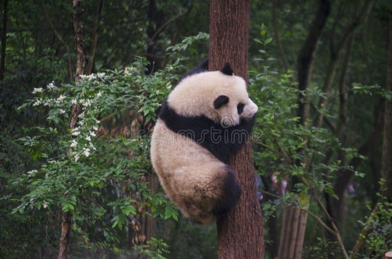 Giant panda cubs practicing tree climbing royalty free stock image