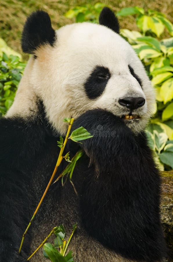 Giant Panda Eating royalty free stock image