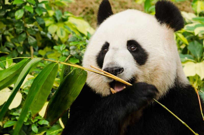 Giant Panda Eating royalty free stock photo