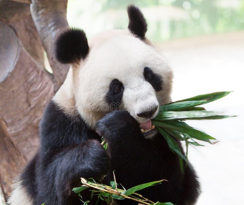 Giant panda eating bamboo stock photos