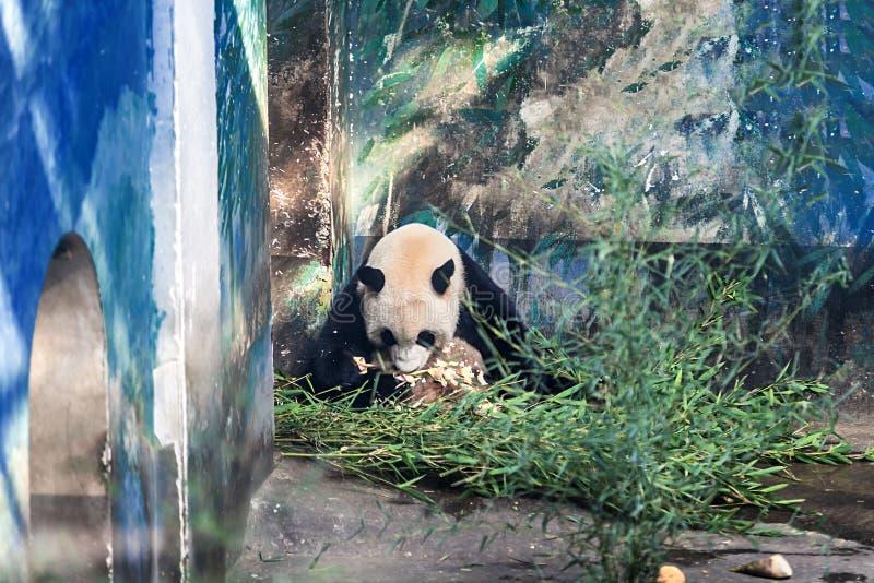 Giant panda eating bamboo shoots stock photos
