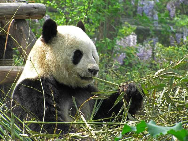 Giant panda eating bamboo in Chengdu research base Sichuan province China royalty free stock photos