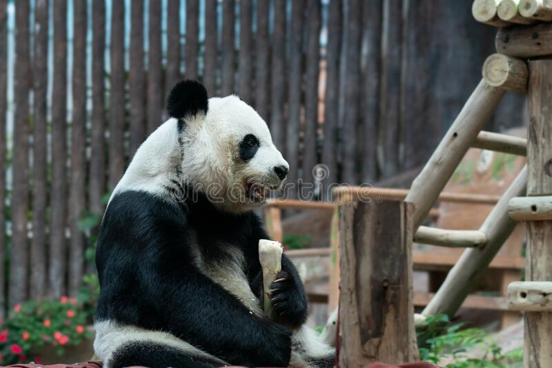 Giant Panda eats bamboo in the park.  royalty free stock photography