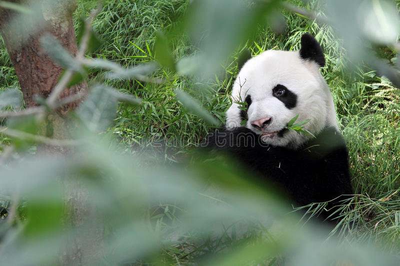 Giant Panda in the Forest stock photo