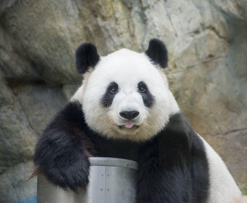 Giant Panda stock photo