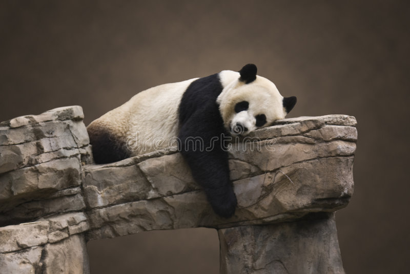 Giant Panda Portrait. Giant Panda laying down isolated on a portrait type background