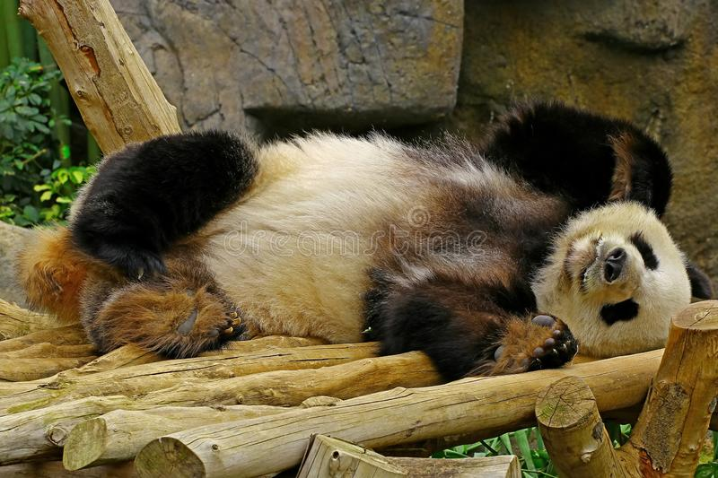 Sleeping giant panda stock photos