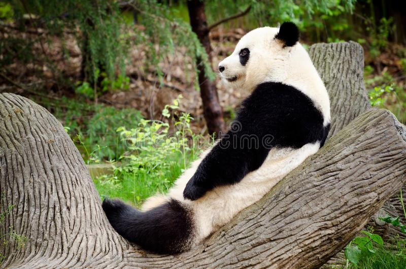 Giant panda resting. On log royalty free stock photography
