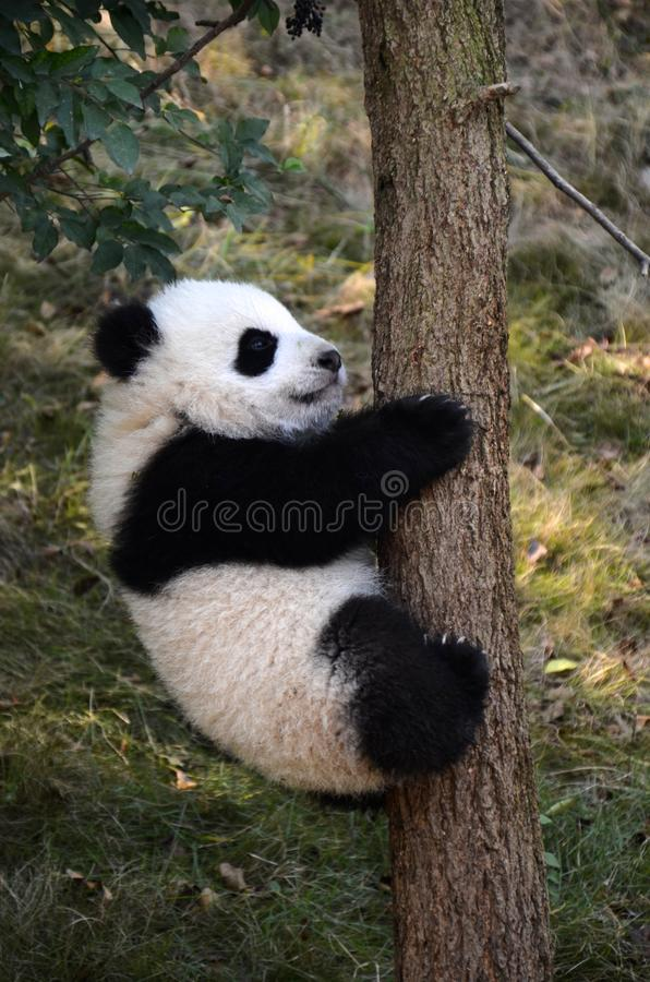 Giant Panda Kung Fu Panda Cute Panda China National Treasure Wolong National Nature Reserve Chengdu, Sichuan. Giant panda scientific name: Ailuropoda melanoleuca royalty free stock photography