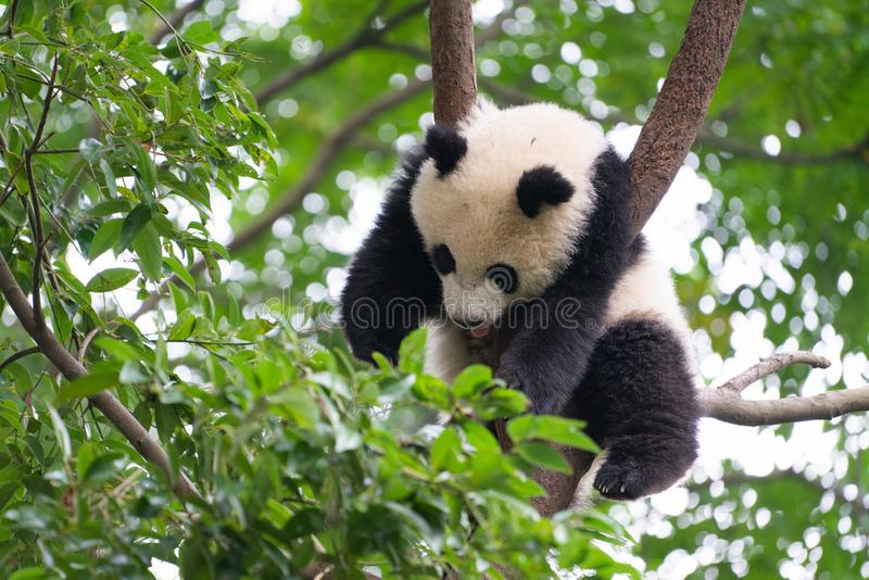 Giant Panda sleeping high up a in tree in Chengdu China royalty free stock images