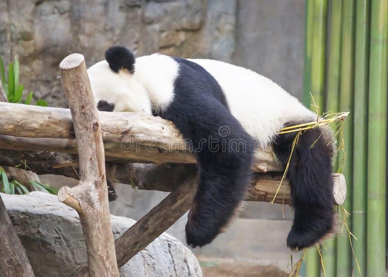 Giant panda sleeping on the tree stock images