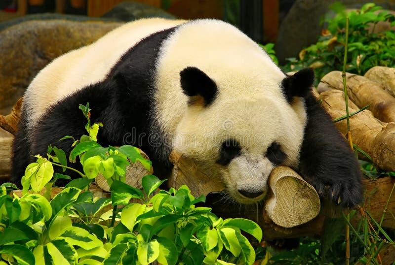 Giant panda sleeping on tree trunks royalty free stock photo