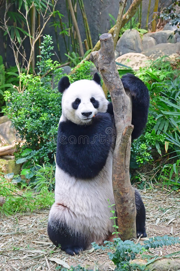 Giant Panda Standing Eating After Reaching Out For The