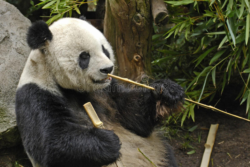 Download Giant Panda with Sticks stock photo. Image of asia, eating - 17114744