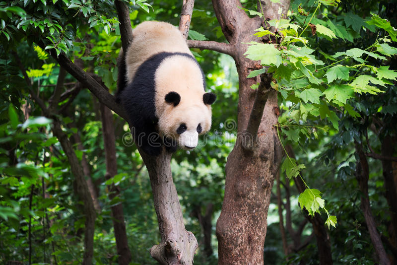 Giant panda in a tree royalty free stock image