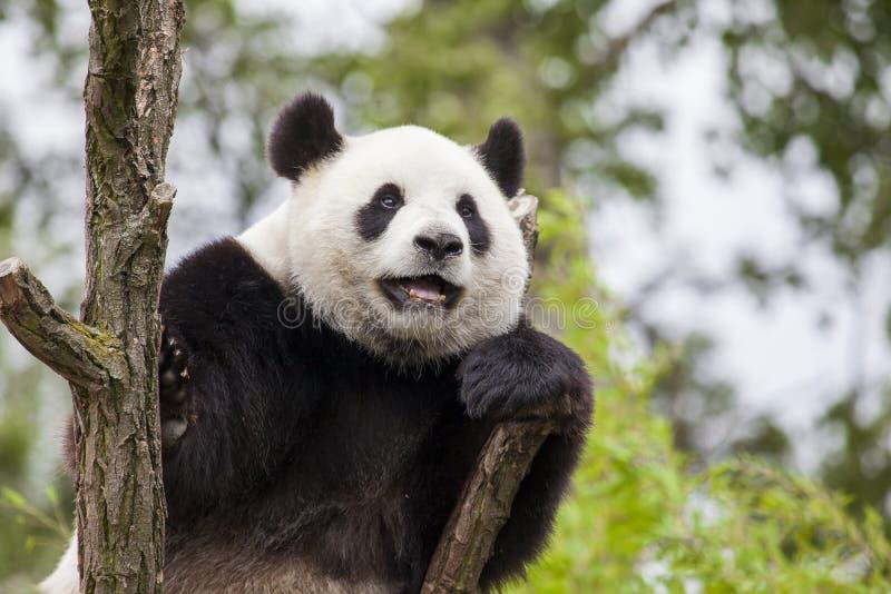 Giant panda on the tree stock photos