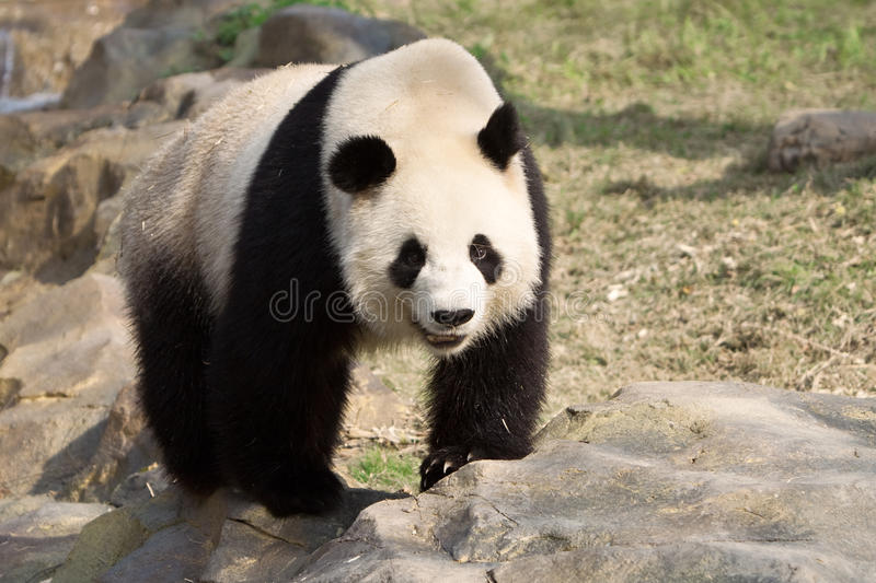 Giant Panda walks on a rock stock photos