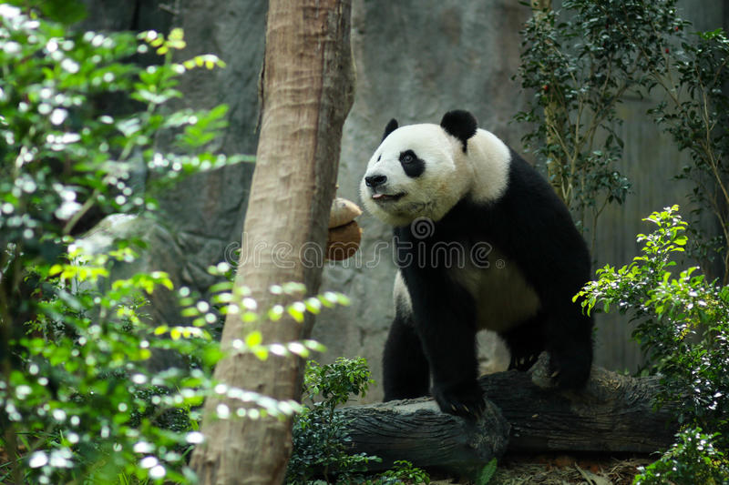 Giant Panda. In zoo enclosure royalty free stock photos