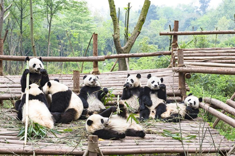 Playing Panda Bears, Panda Breeding Center, Chengdu, China. Giant Pandas playing together in Chengdu, China stock photos