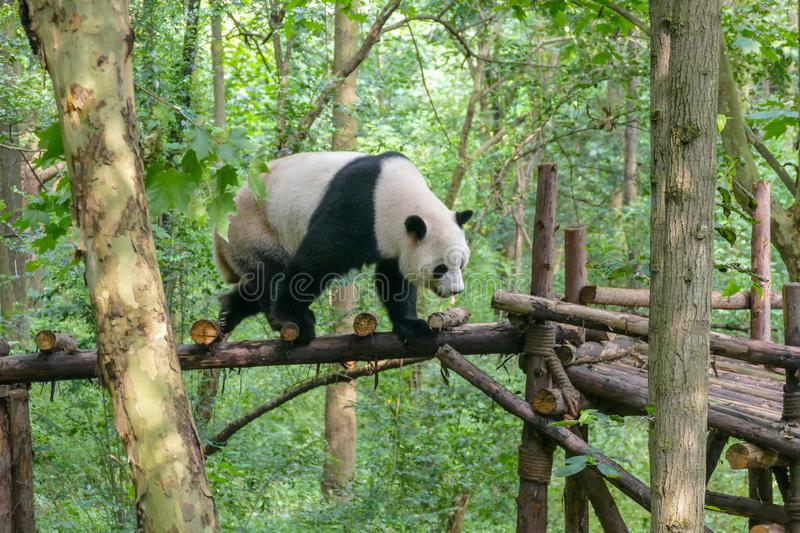 Giant Pandas at Wolong Nature Reserve, Chengdu, Sichuan Provence, China endangered species and protected. royalty free stock photography