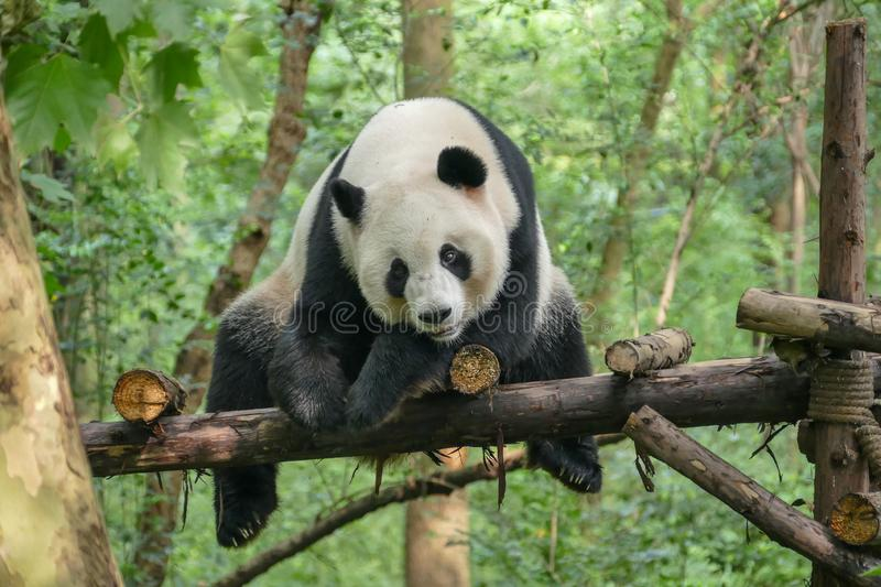 Giant Pandas at Wolong Nature Reserve, Chengdu, Sichuan Provence, China endangered species and protected. stock images
