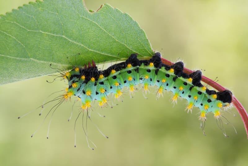 Giant peacock moth caterpillarSaturnia pyri. On the hostplant royalty free stock photos