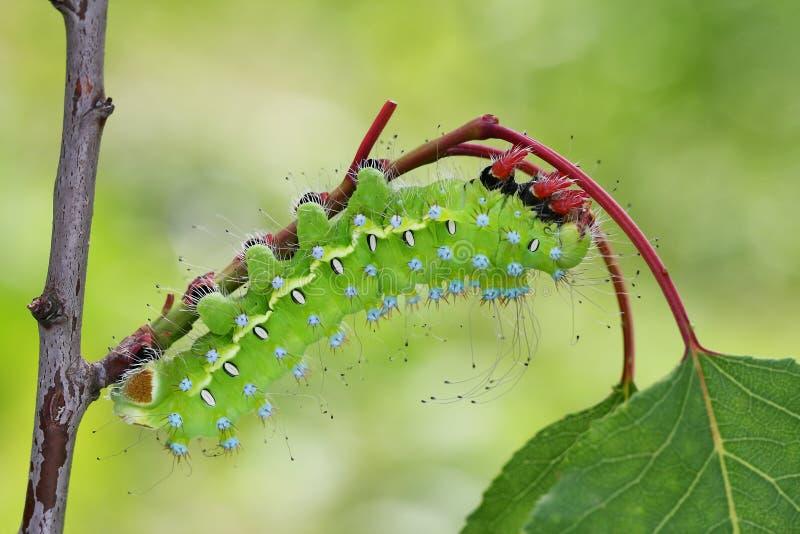 Giant peacock moth caterpillarSaturnia pyri. On the hostplant royalty free stock photo