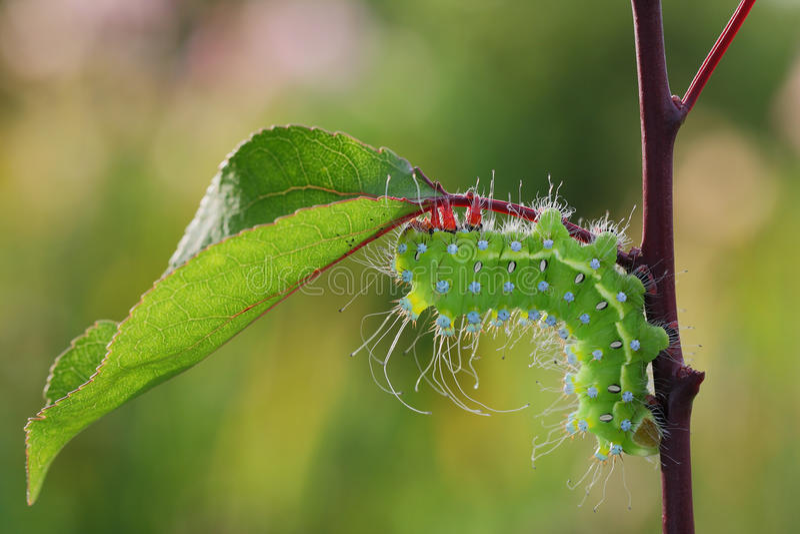 Giant peacock moth caterpillarSaturnia pyri. On the hostplant stock images