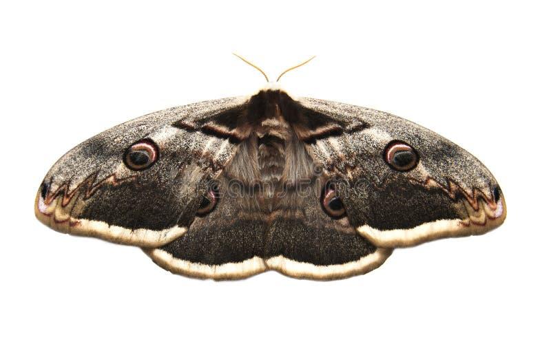 Giant peacock moth royalty free stock photos