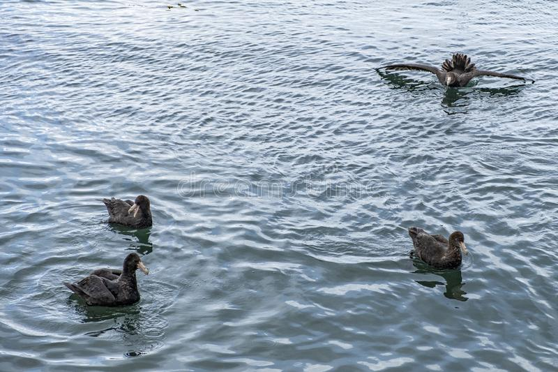 Giant petrel swimming in the fjord. Ushuaia. Argentina royalty free stock photo