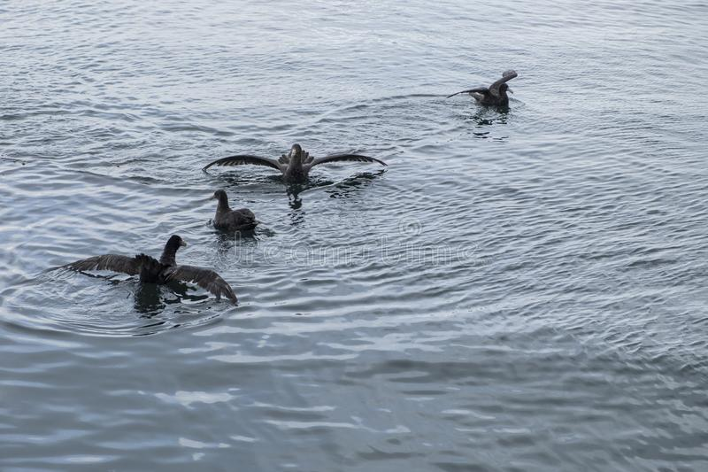 Giant petrel swimming in the fjord. Ushuaia. Argentina stock photography
