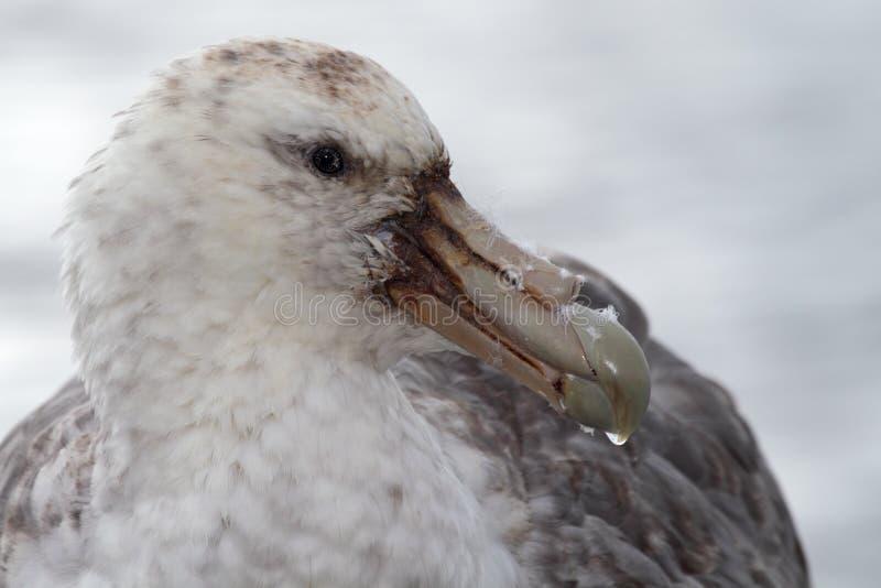 Download Giant Petrel, The Vulture Of Antarctica Stock Image - Image of bird, wildlife: 13200913
