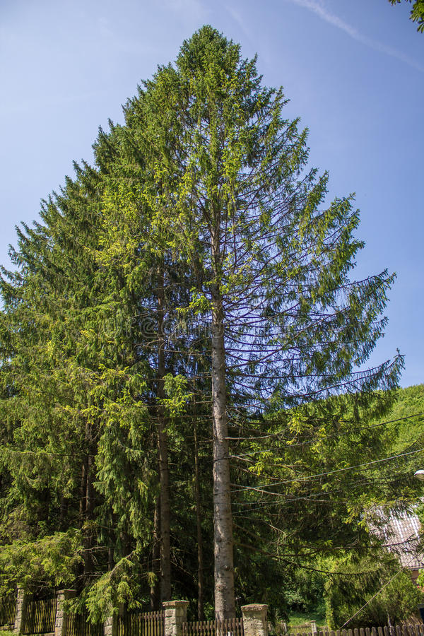 Giant Pine tree stock images