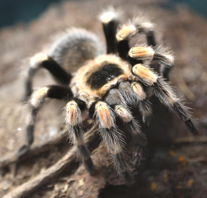 Giant spider photographed closely in the Amazon rainforest. Giant poisonous hairy spider photographed closely in the Amazon rainforest stock photography