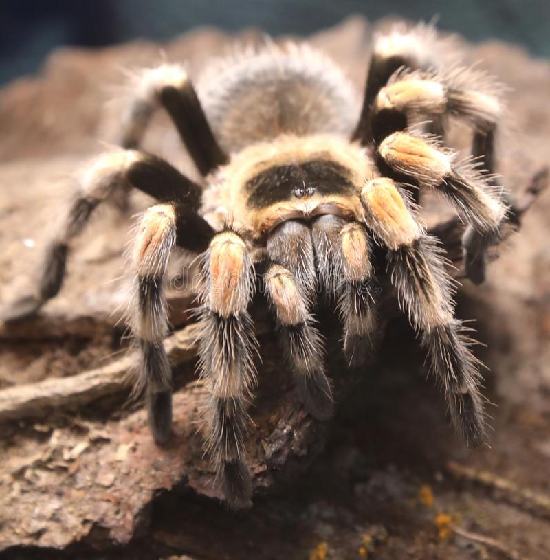 Giant poisonous hairy spider photographed closely. In the Amazon rainforest royalty free stock image