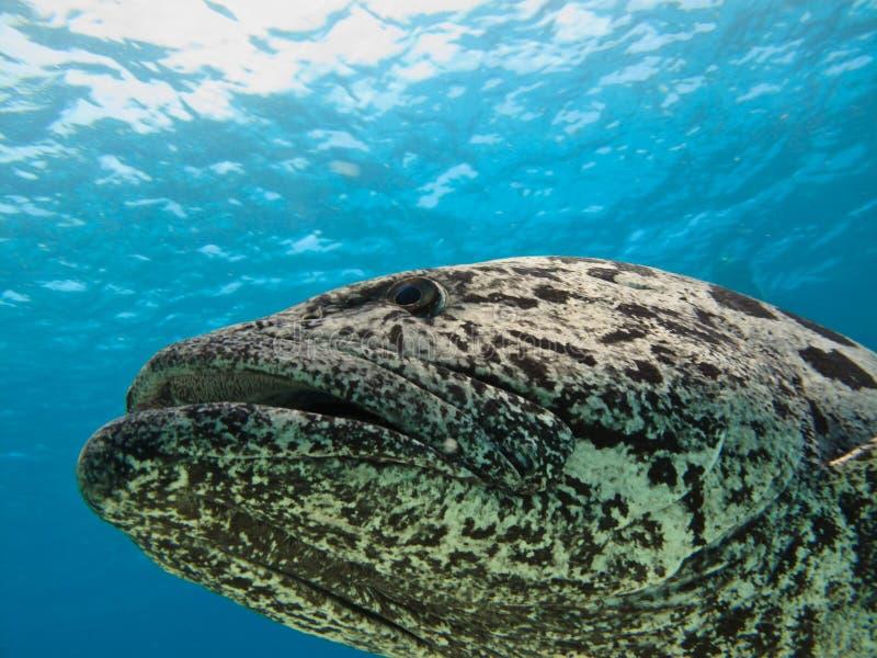 Giant Potato Cod Sea Bass Great Barrier Reef stock photo