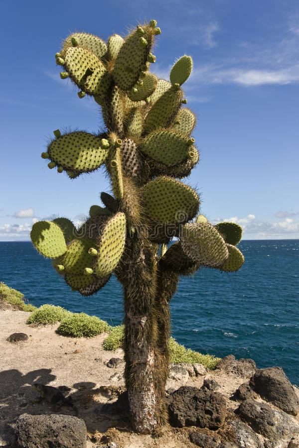 Giant Prickly Pear Cactus - Galapagos Islands royalty free stock images