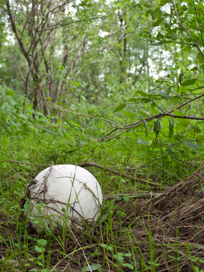 Free Giant Puffball Royalty Free Stock Image - 16742406