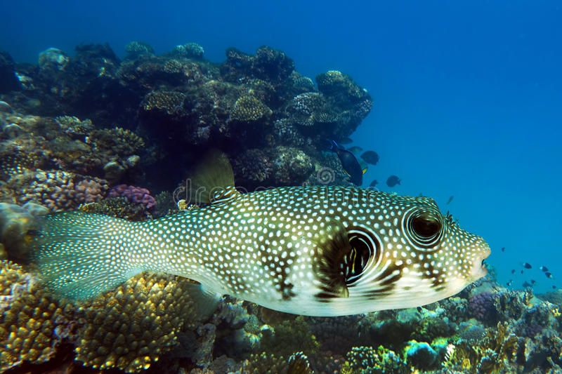 Giant puffer arothron stellatus sea fish on the coral for Giant puffer fish