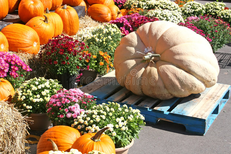 Giant Pumpkin royalty free stock image