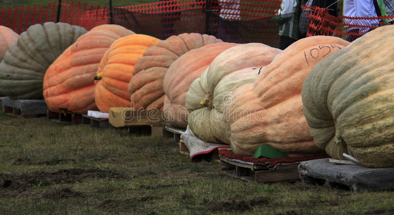 Download Giant pumpkin line editorial image. Image of fall, crop - 11290700