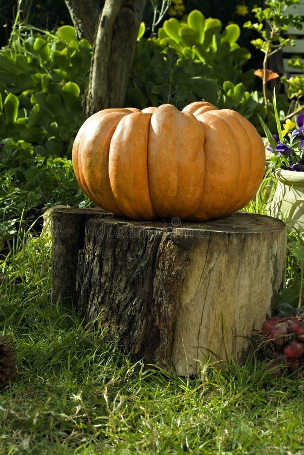 Giant Pumpkin On Stump Stock Image
