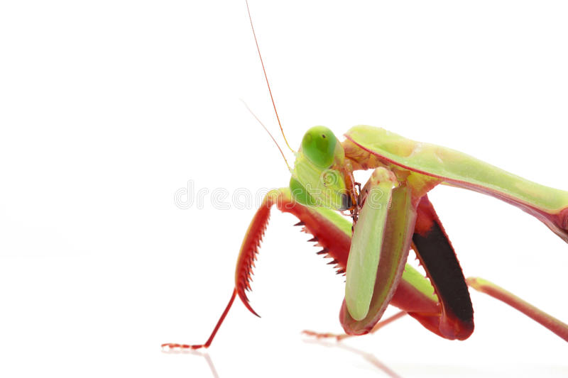 Download Giant Rainforest Mantis stock photo. Image of praying - 31167092